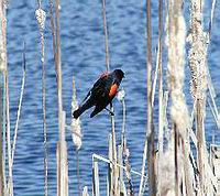 red_wing_black_bird_at_the_laguna.jpeg